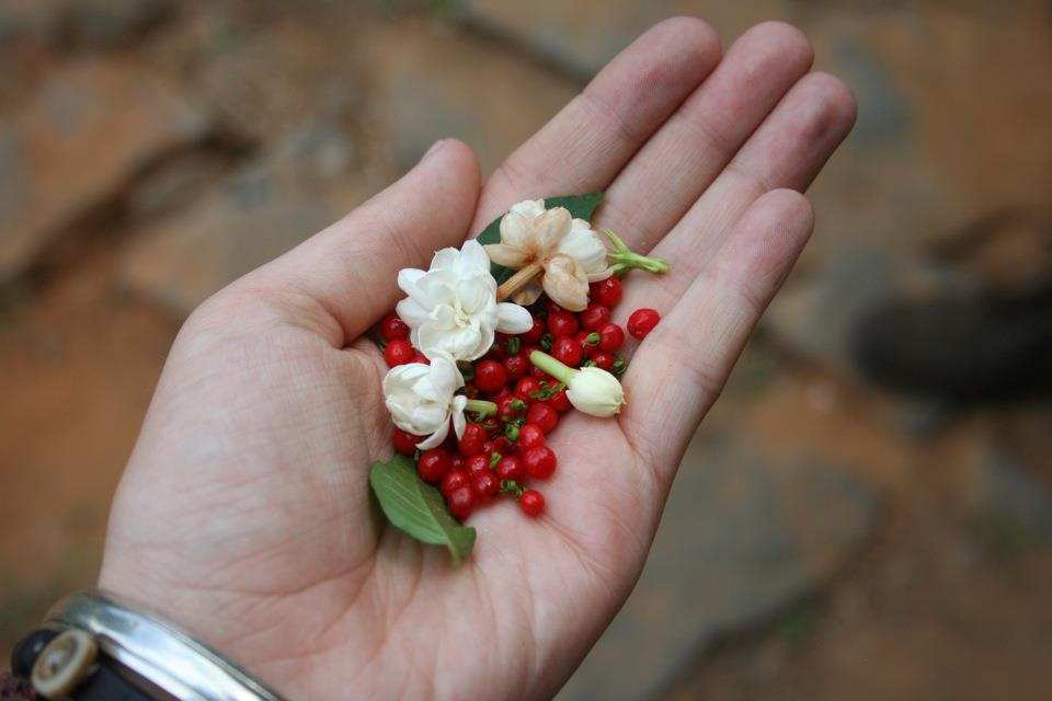 Jasmine and Berries, Clouds Land Munnar