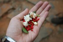 Jasmine and Berries, Clouds Land Munnar 2013