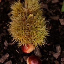 Chestnuts, freshly fallen