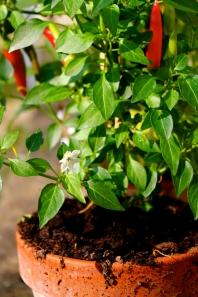 Chili blossom