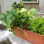 First Harvest = Spring Lettuce