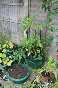Onions, garlic, potatoes, and seedlings