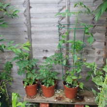 Look how huge the tomatoes have gotten!
