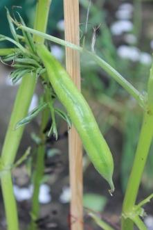Dreadnaught beans