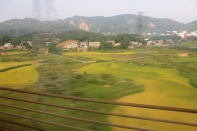 Ripe rice fields