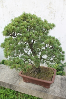This is the bonsai tree from the previous photo.