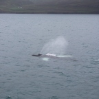 Akureyri: Whale Watching