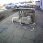 The Adventures of Raisins, the Icelandic Sheep in Korea